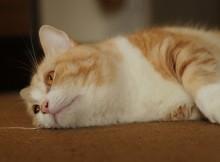 ネコの狩猟本能火がつきにくい、反応鈍いマンチカン菊之助