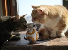 BB-8に興味津々なマンチカン菊之助・力丸