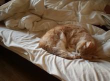 ベッドの端は安定のお昼寝場所、マンチカン菊之助のお気に入りです