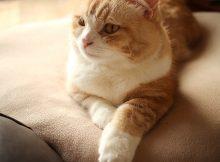 日本橋三越本店GWイベント 「ねこ・猫・ネコ フェスティバル」「PECO NEKO館」でマンチカン菊之助と力丸の映像がながれる予定です。