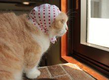 豆絞りあかはマンチカン菊之助で、『かわいいかわいいねこ泥棒』