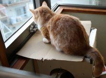 ケケケ(クラッキング)の音で比較してみる猫の声変わり
