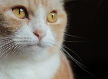 怒れる猫型目覚まし、マンチカン菊之助