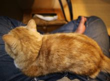 とってもレアなマンチカン菊之助の膝枕