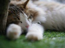 湯布院『ノルウェイの森』もっふりノルウェージャンフォレストキャット専門の猫カフェ