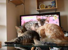 同居猫からの毛づくろい、嫌がり喧嘩のいつもの光景